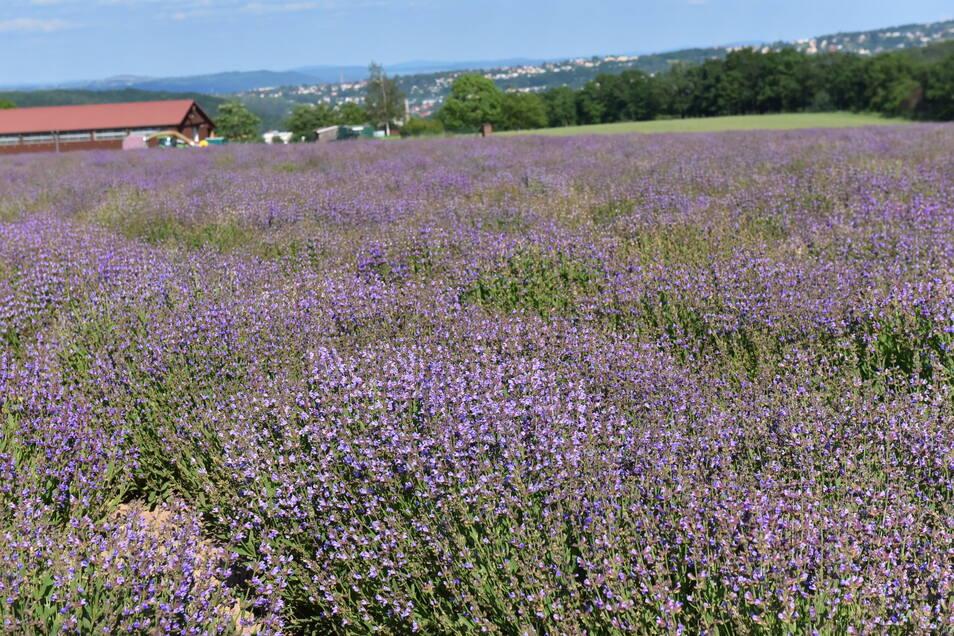 Ein bisschen wie in der Provence: Was hier blüht, ist allerdings Salbei und kein Lavendel.