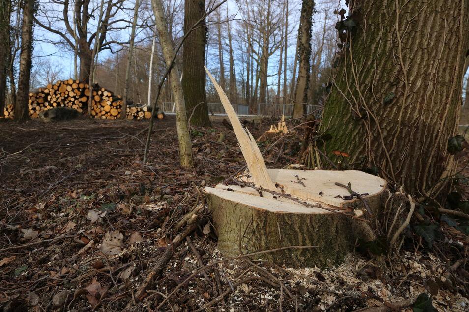 Seit 2010 können Bäume bis zu einem bestimmten Stammumfang auf Grundstücken mit Gebäuden ohne Genehmigung gefällt werden. Damit soll es bald vorbei sein.