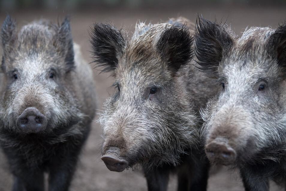 Wildschweine tauchen nach Angaben von Gunter Franke, Vorsitzender des Kreisjagdverbandes Kamenz, immer öfter in Städten auf. Grund seien das Futterangebot und die hohe Populationsdichte.