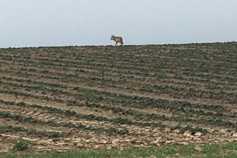 Diesen Wolf hat der Hobbyjäger und Landwirt Axel Wachs auf einem Feld zwischen Sömnitz und Auerschütz fotografiert. Am vergangenen Wochenende wurde der graue Jäger offenbar erneut in der gleichen Region beobachtet.