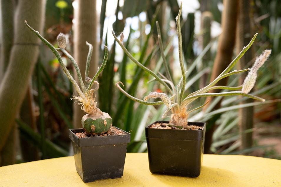 Astroph Caputh medusae sieht nicht aus wie der typische Kaktus und ist auch eine Rarität. Jürgen Dreher hat seine Pflanze aus Tschechien, wo es viele auf die fantastische Art spezialisierte Sammler gibt.
