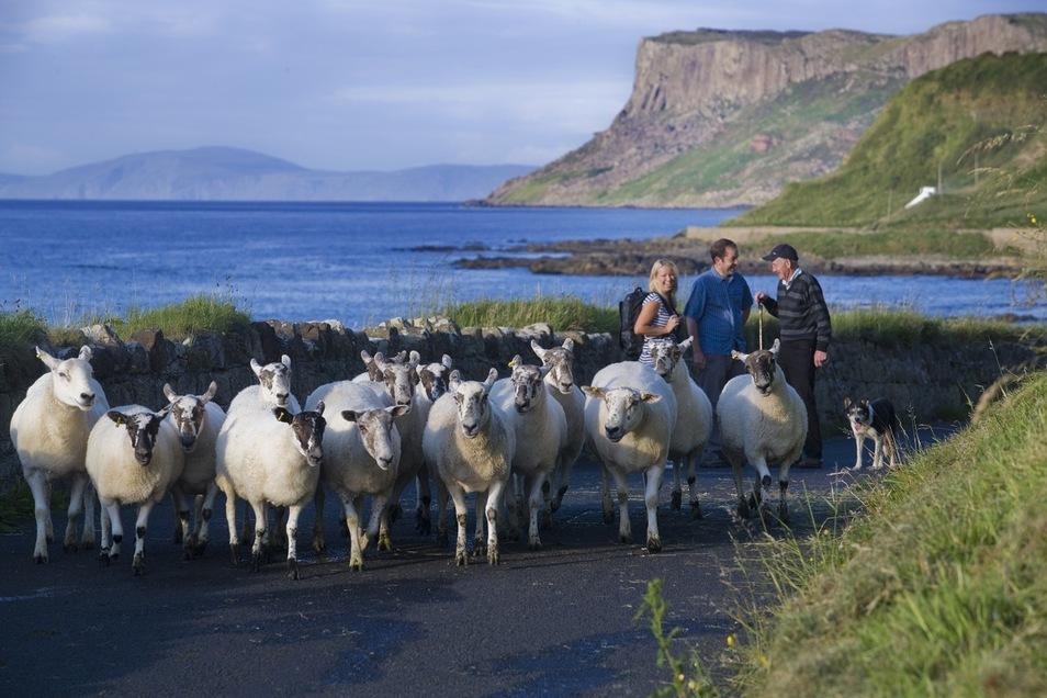 Mit Schafen auf Wanderschaft in Irland.