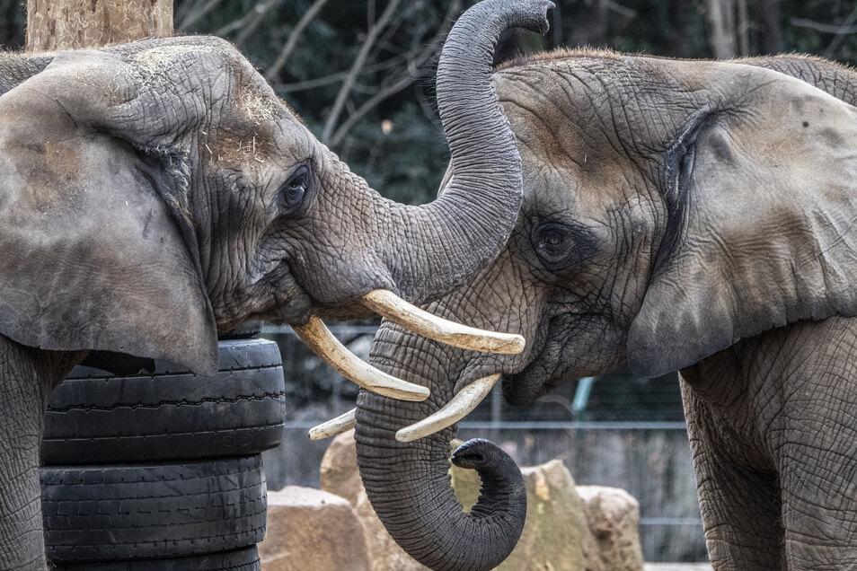Die Elefanten Mogli und Sawu sind in Dresden zu Hause, andernorts werden ihre Artgenossen bedroht. Um Tieren zu helfen, hat der Zoo ein Projekt gestartet.