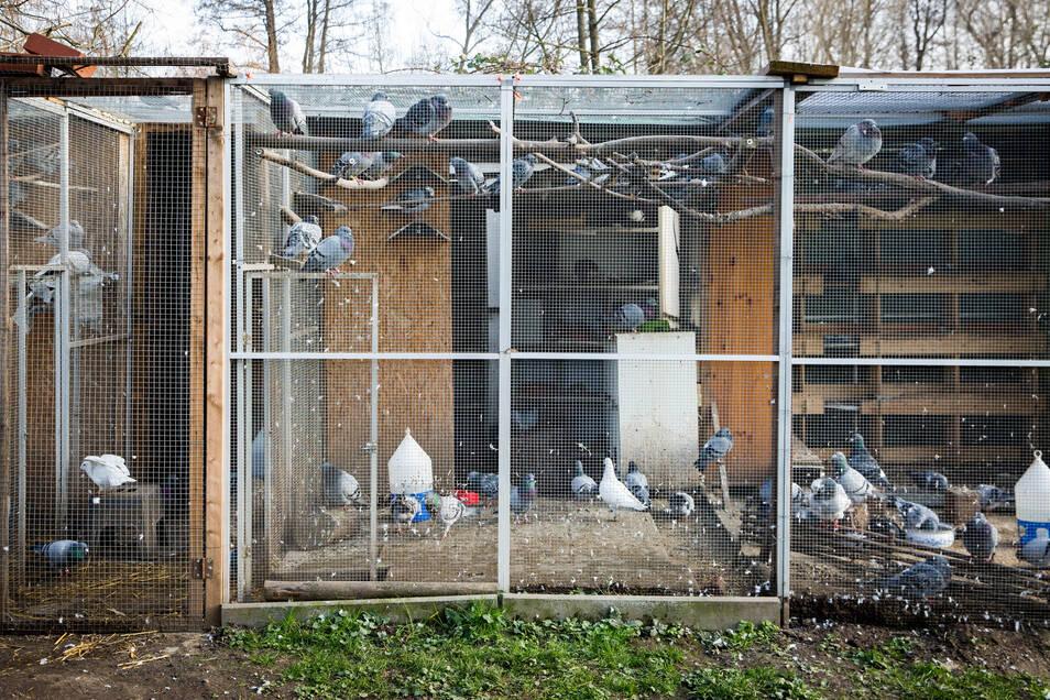 In den Volieren in Mockritz kommen Dutzende verletzte und gestrandete Tauben unter.