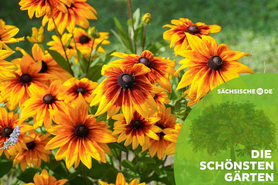 Prächtig blüht der Sonnenhut in so manchem Garten im Landkreis Bautzen. Aber es gibt noch viel mehr zu entdecken auf kleinen und großen Grundstücken.