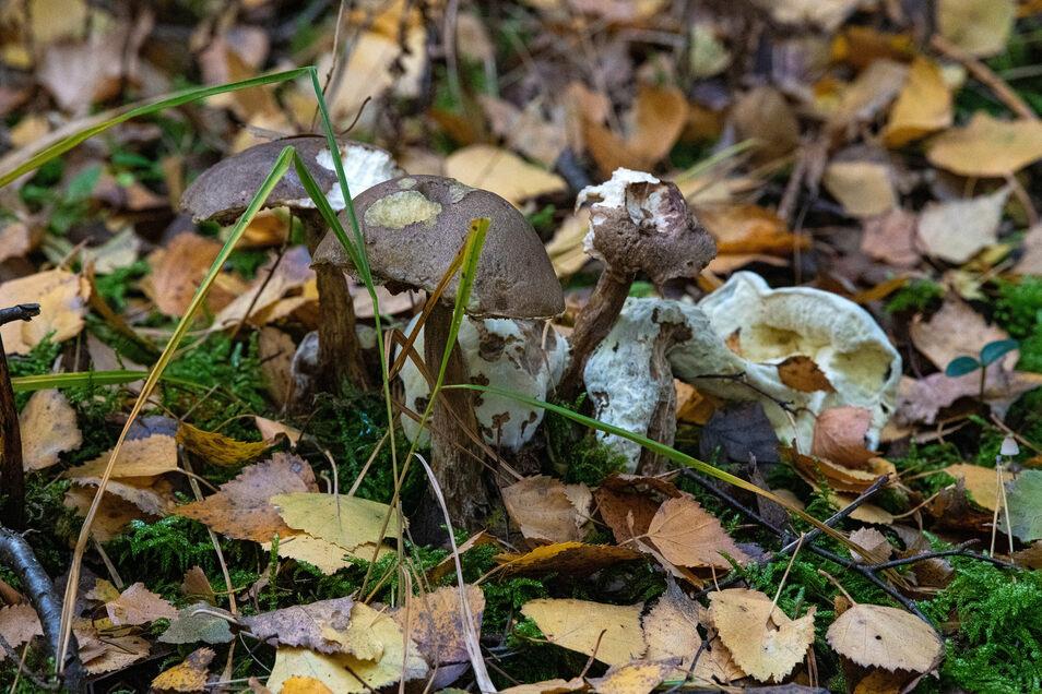 Im Reich des toten Holzes sind die Reduzenten die Totengräber - Bakterien und Pilze wie hier ein Birkenpilz.
