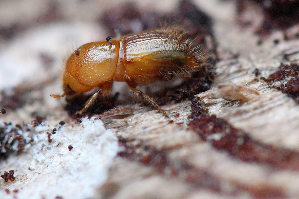 Ein Borkenkäfer krabbelt auf einem entrindeten Fichtenstamm im Forst.