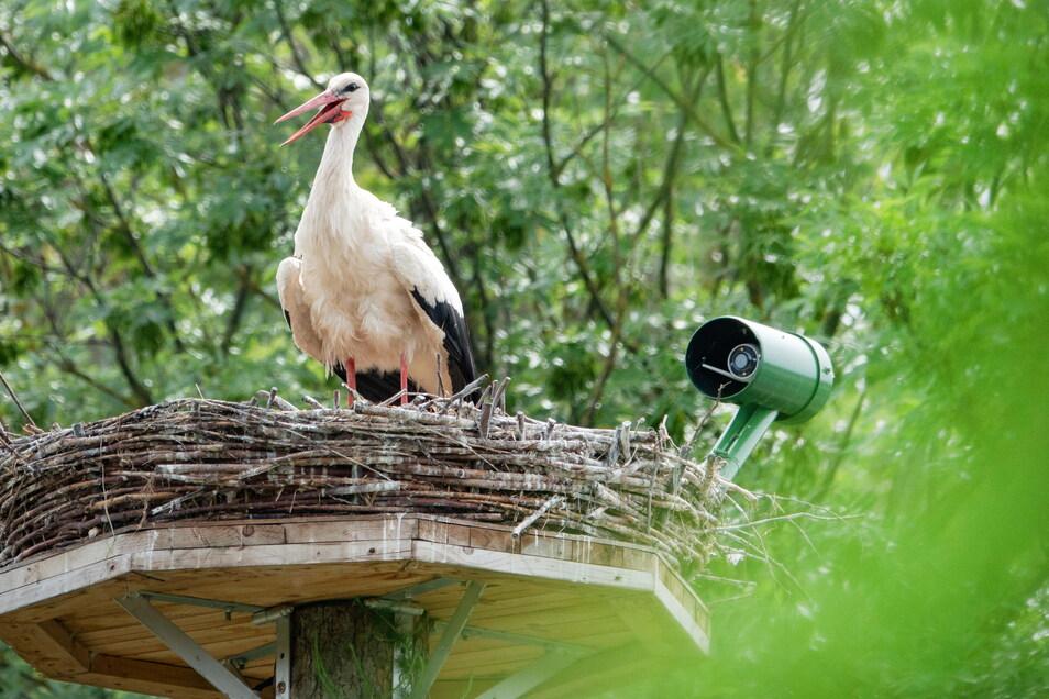 Den Storch stört die Kamera am Horst nicht, den Vogelschützern hilft es bei der Beobachtung. Künftig könnten die Bilder auch im Internet landen.