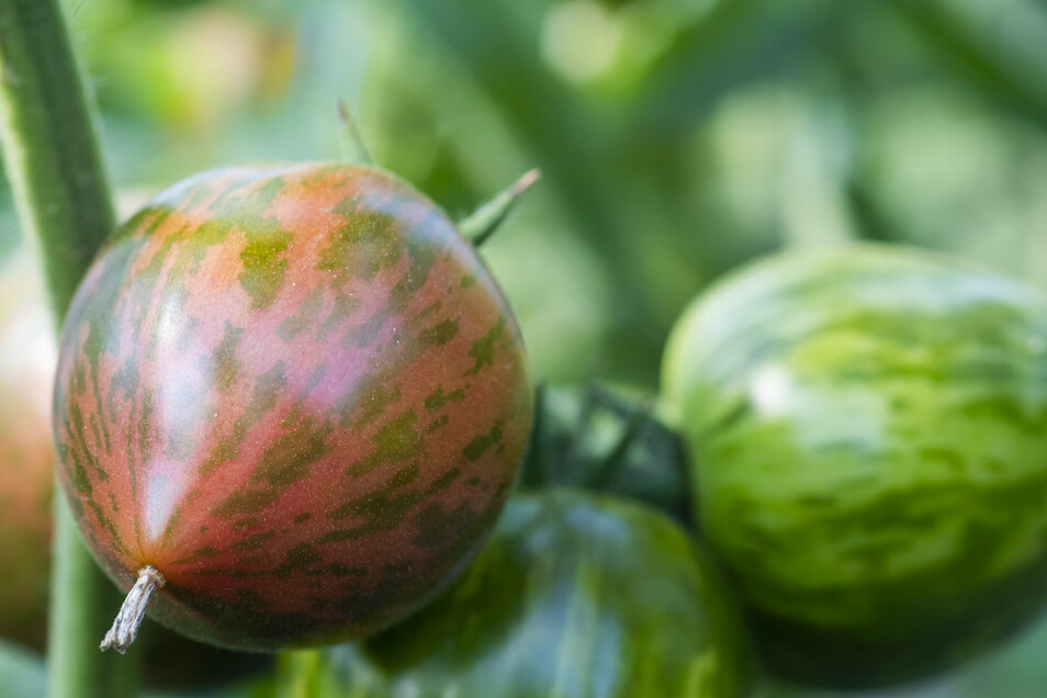Pink Boar heißt diese sortenechte Tomate. Aus ihrem Samen lassen sich wieder Pflanzen ziehen, anders als bei den Hybriden, die oft im Handel angeboten werden. Vor einigen Jahren hat sich Birgit Kempe mit ihren vielen Tomatensorten selbstständig gemacht, v