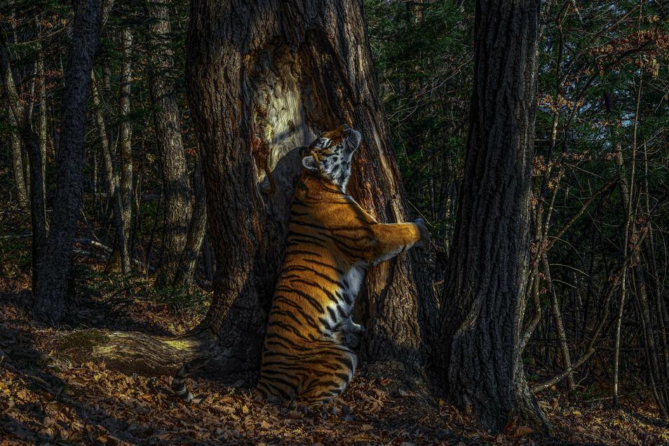 Das Siegerfoto zeigt einen Amur-Tiger, der in einem kargen Wald in Sibirien einen Baum umarmt. Die Tigerart gilt als vom Aussterben bedroht