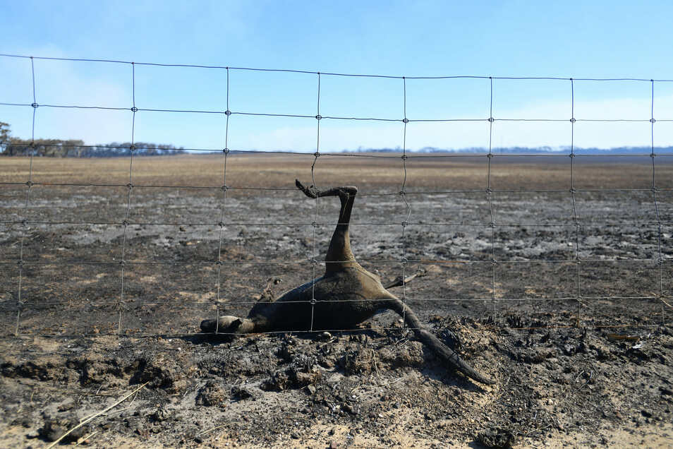 Ein totes Känguru hängt nach den Buschfeuern in einem Zaun.