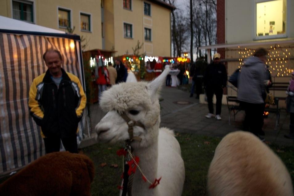Von Pertershain kamen eigens Alpakazüchter mit ihren Tieren zum Adventsfest, um mit den Tieren die Bewohner und Besucher zu erfreuen.