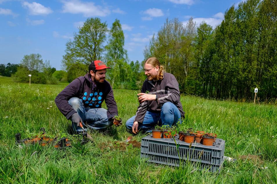 Johannes Metzner (li.) und Johannes Hofmann vom Umweltzentrum Dresden beim Pflanzen des Großen Wiesenknopfs.