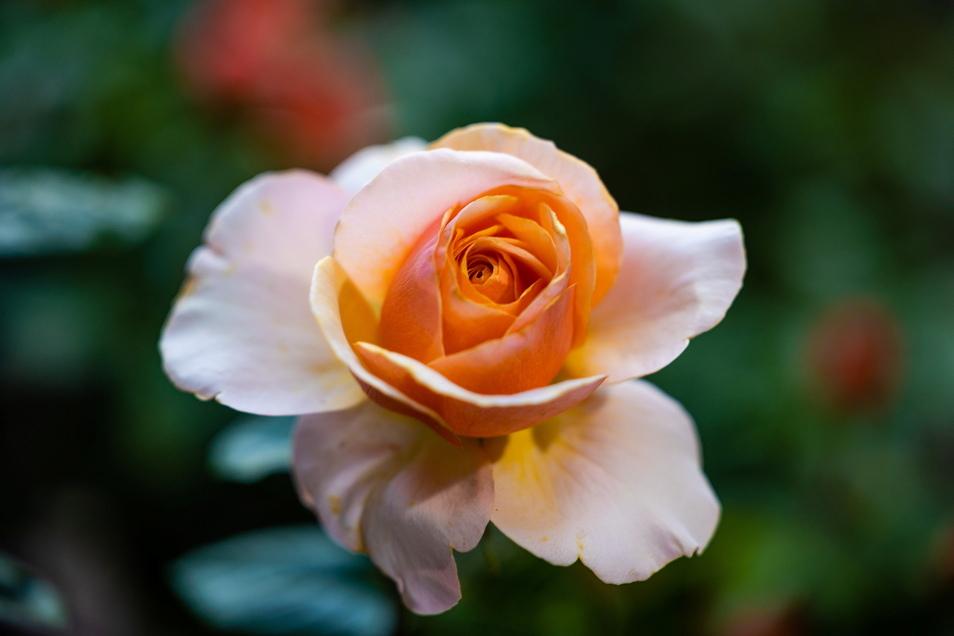 Sweet Lady heißt diese Edelrose mit stark gefüllten, herrlich duftende Blüten in einem zarten Cremecaramel, innen Goldencaramel. Sie sind eine besondere Zierde dieser reichblühenden Rose. Sie wächst aufrecht und kräftig, ihr Laub glänzt dunkelgrün.