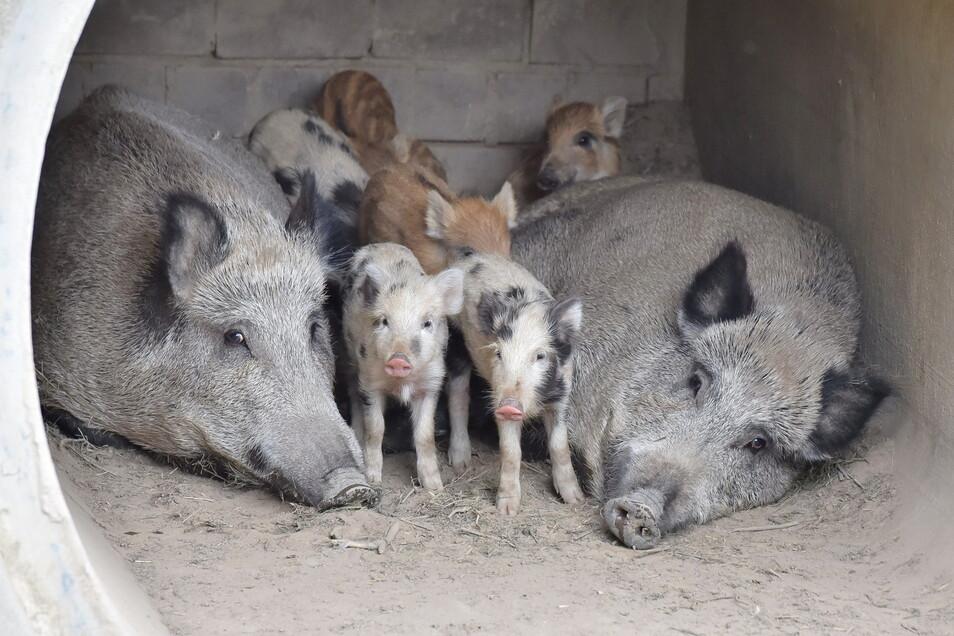 In zwei Farbschattierungen sind die Frischlinge bei den Wildschweinen unterwegs.