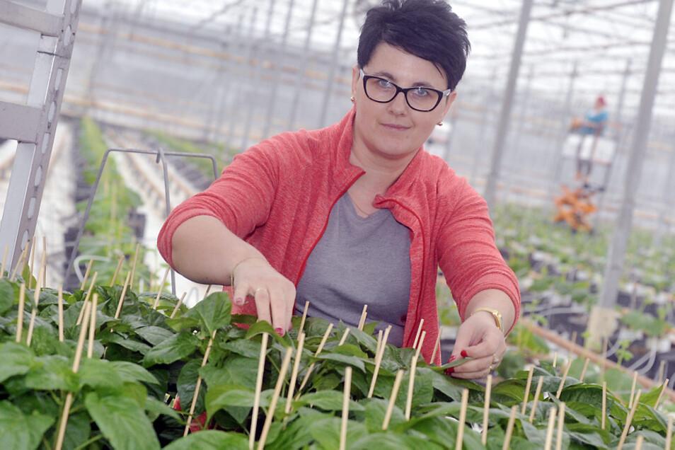 In der Gärtnerei in Boxberg bereitet Dorotha Paprika zur Auspflanzung in den Gewächshäusern vor.