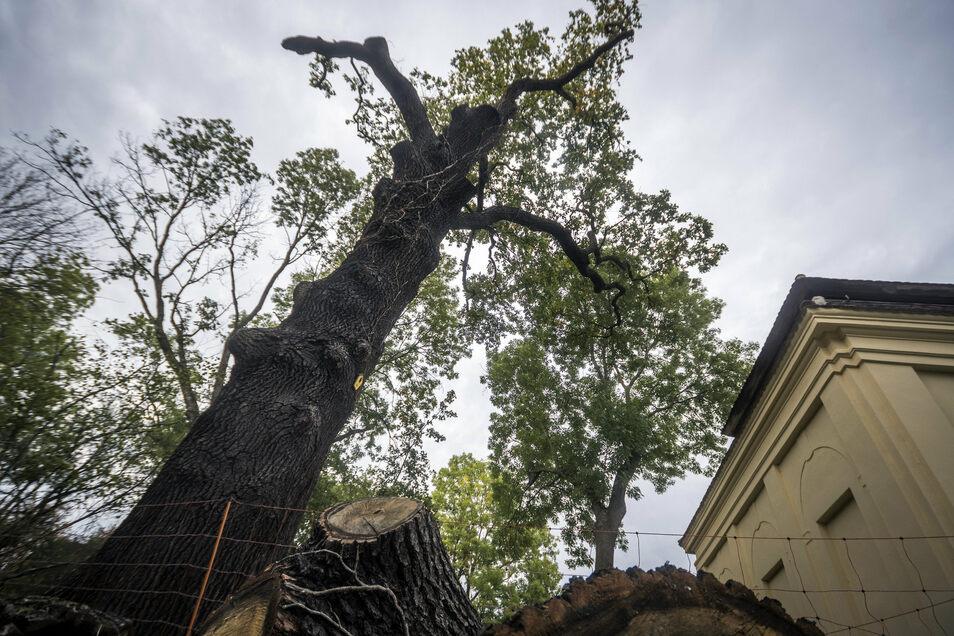 Musste gestutzt werden: Diese hunderte Jahre alte Eiche hatte allem Anschein nach durch zu schwer gewordene Äste Schaden genommen. Um den Baum zu retten, mussten etliche entfernt werden. Rechts: Der äußerlich bereits sanierte Grottenpavillon.