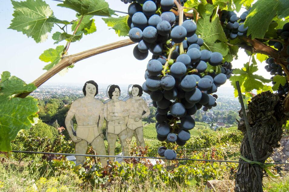 """Die """"Drei Herren"""" des Künstlers Jan Kummer stehen im Weinberg des gleichnamigen Radebeuler Weinguts. Sie dürfen sich auf einen Jahrgang mit hoher Qualität aber geringen Quanitäten freuen."""
