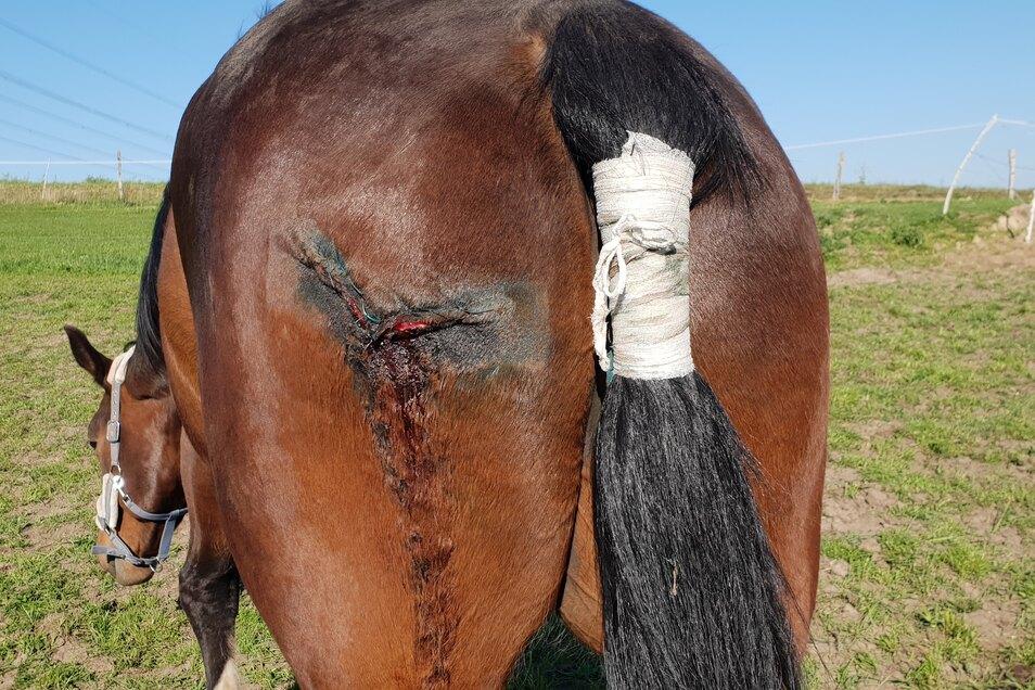 Eine große Narbe wird das Pferd behalten. Aber erst einmal muss die Wunde gut verheilen.
