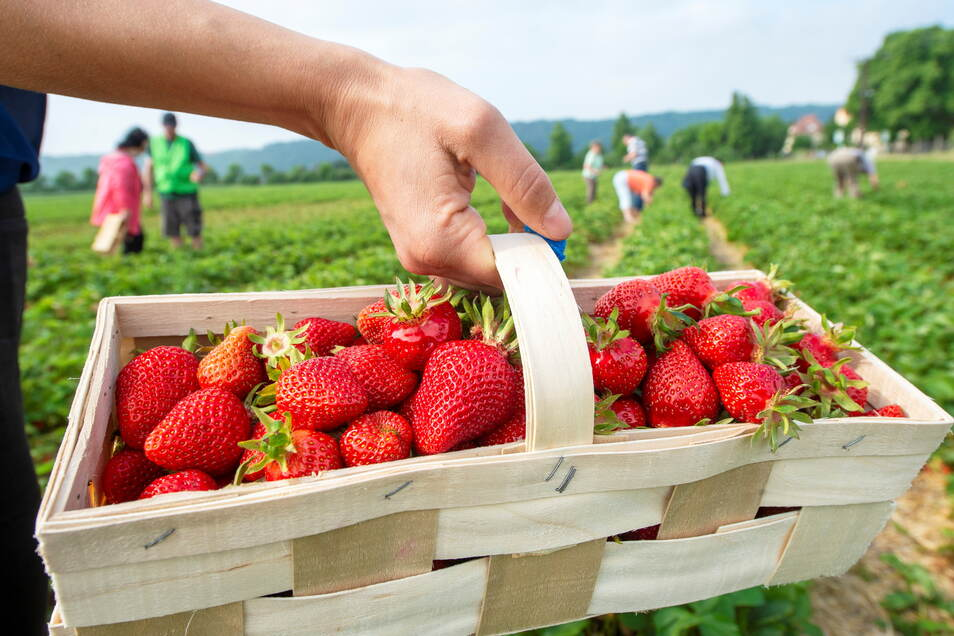 Erdbeeren - frischer als selbst gepflückt geht nicht. Das ist jetzt bis Ende Juli auf den Feldern bei Sörnewitz wieder möglich. Dafür mussten Berge von Unkraut aus den Pflanzenreihen gezogen werden.