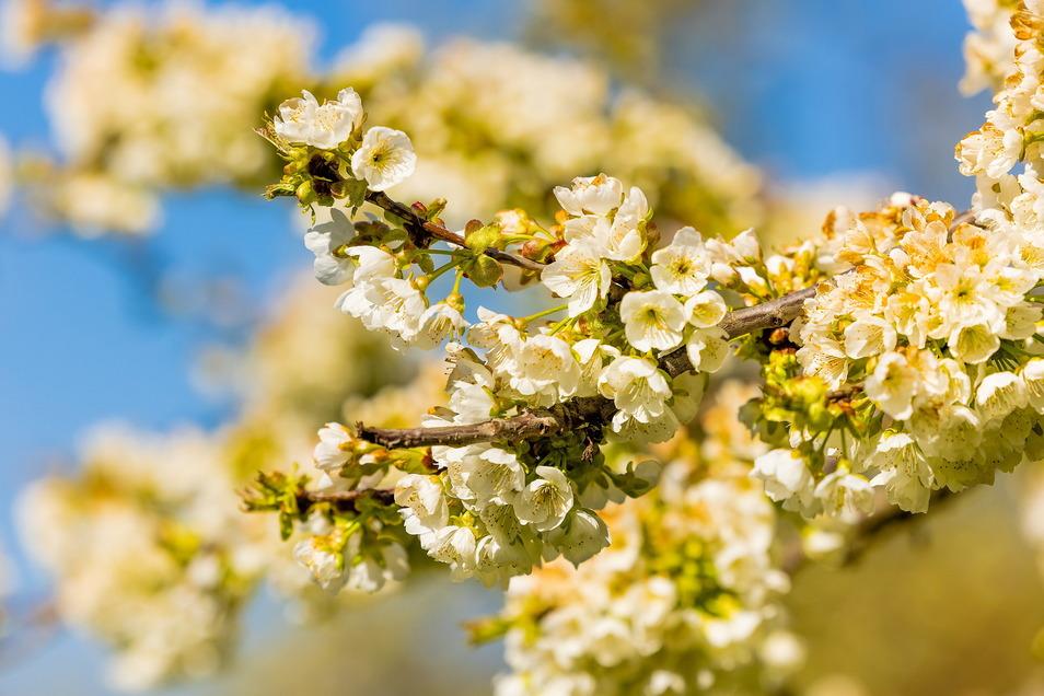 Blüten über Blüten - vor allem im Frühjahr sind Obstbäume eine Augenweide.