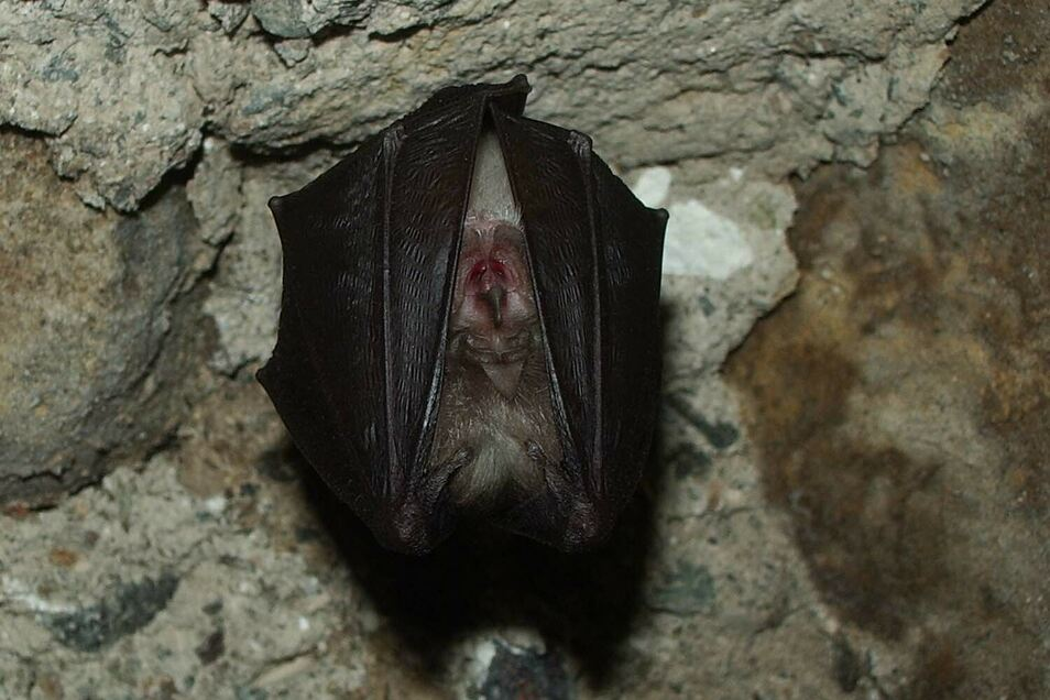 Die Kleine Hufeisennase nutzt eine Höhle im Zittauer Gebirge als Winterquartier.