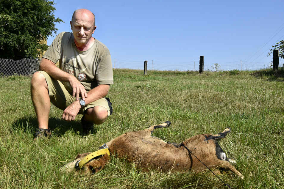 Landwirt Matthias Hennig mit einem seiner getöteten Schafe. Zum wiederholten Male wurden Tiere des 53-Jährigen von Wölfen gerissen.