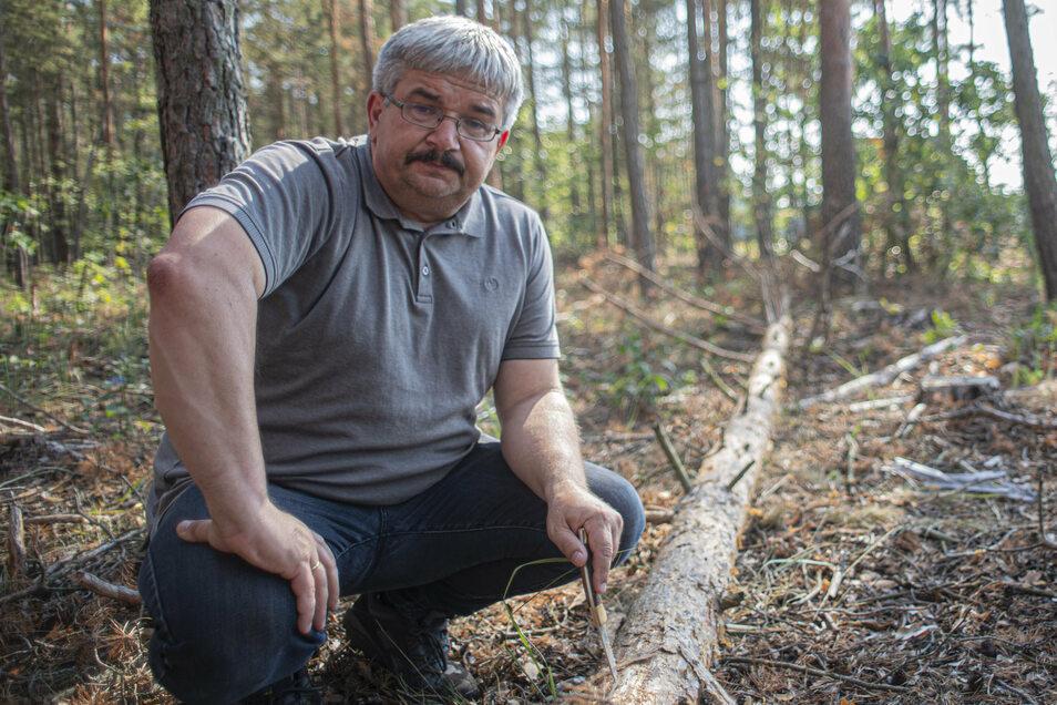 Thomas Sobczyk begutachtet die Schäden, die Borkenkäfer bei Kiefern im Norden des Landkreises Bautzen angerichtet haben. Er ist in der Unteren Forstbehörde zuständig für den Waldschutz.
