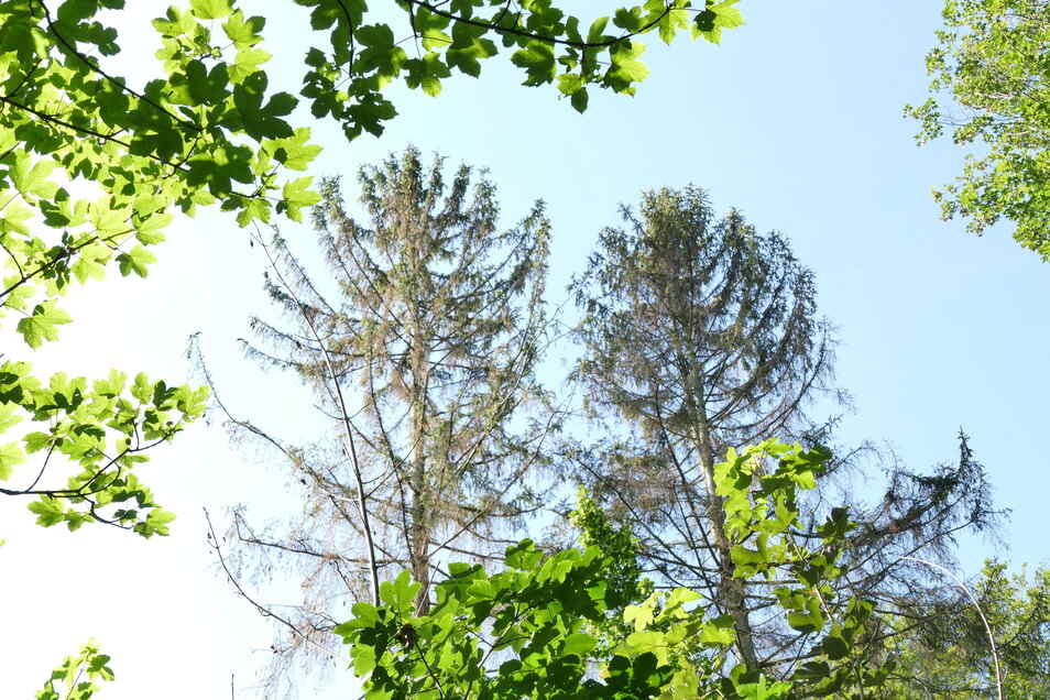 Auch diese beiden Fichten haben den Borkenkäferangriff nicht überlebt. An vielen Stellen sind großflächig braune Wälder entstanden. Spätestens nach drei Jahren sollten auf solchen Schadflächen Wiederaufforstungen beginnen.