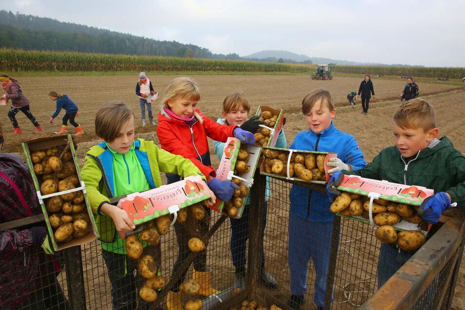 """Schüler der Grundschule Am Forst und vom Gickelsberg machten in Gelenau bei der """"Kartoffelernte wie früher"""" mit."""
