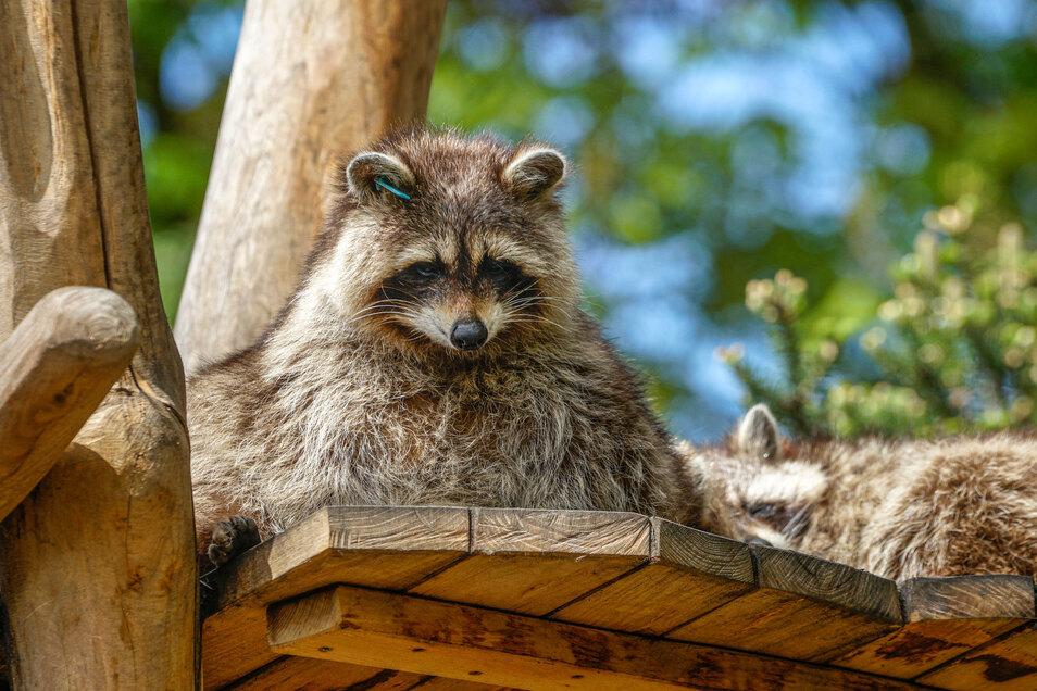 Niedlich anzuschauen sind Waschbären im Tierpark. Aber wer die Tiere im Garten hat, der will sie am liebsten loswerden.