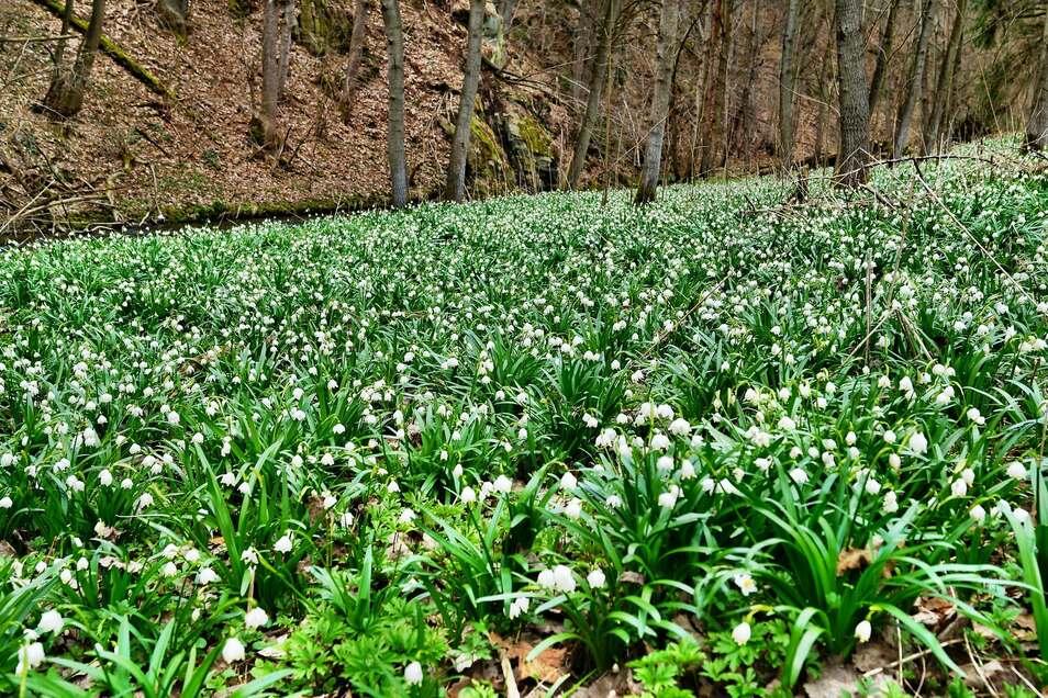 Die beliebten Märzenbecherwiesen im Polenztal ist eine von vielen Open Air-Ausgehmöglichkeiten in Zeiten von Corona.