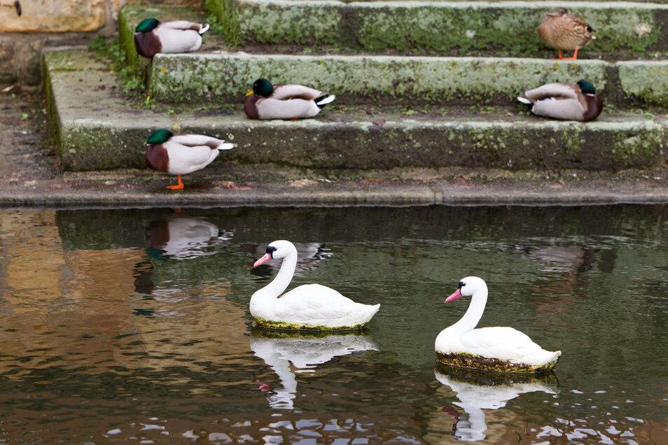 Neben ganz lebendigen Enten schwimmen auf Graupas Schlossteich derzeit Plastikschwäne.