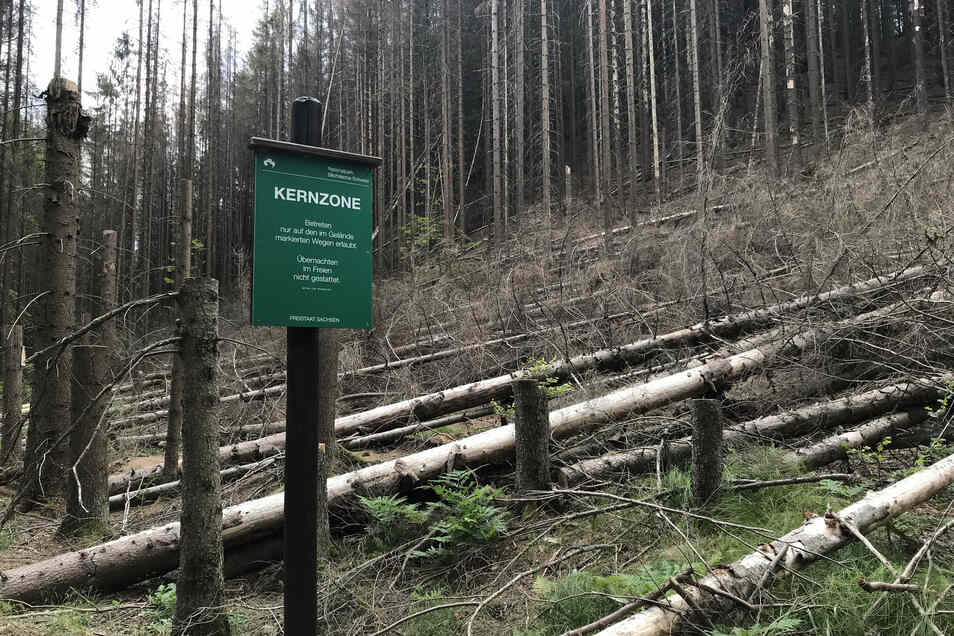 Kahlschlag in der Kernzone: Hier wurden tote Fichten gefällt, um Wanderer vor umfallenden Bäumen zu schützen.
