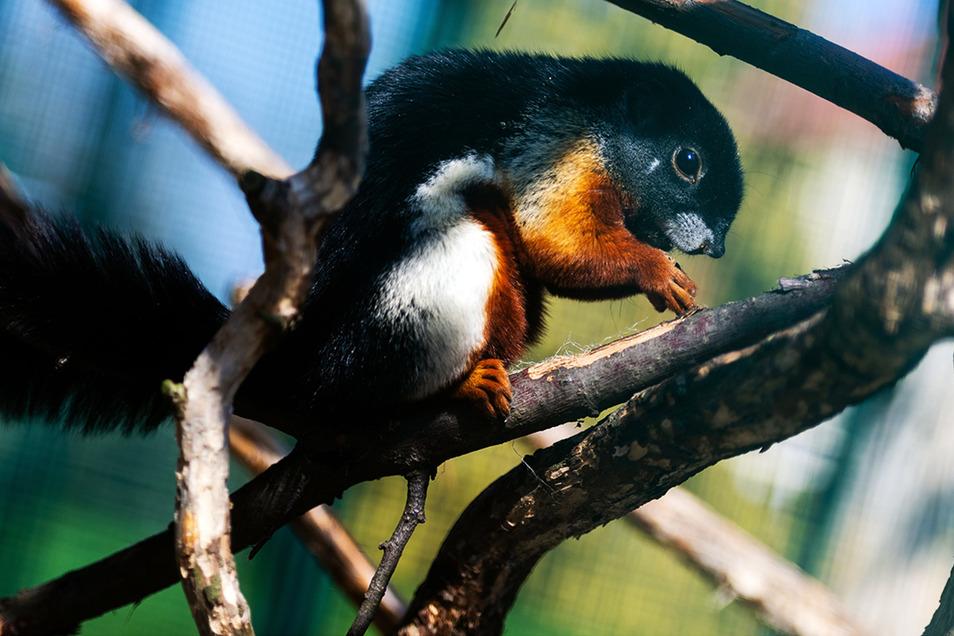Eins der Großharthauer Schönhörnchen.