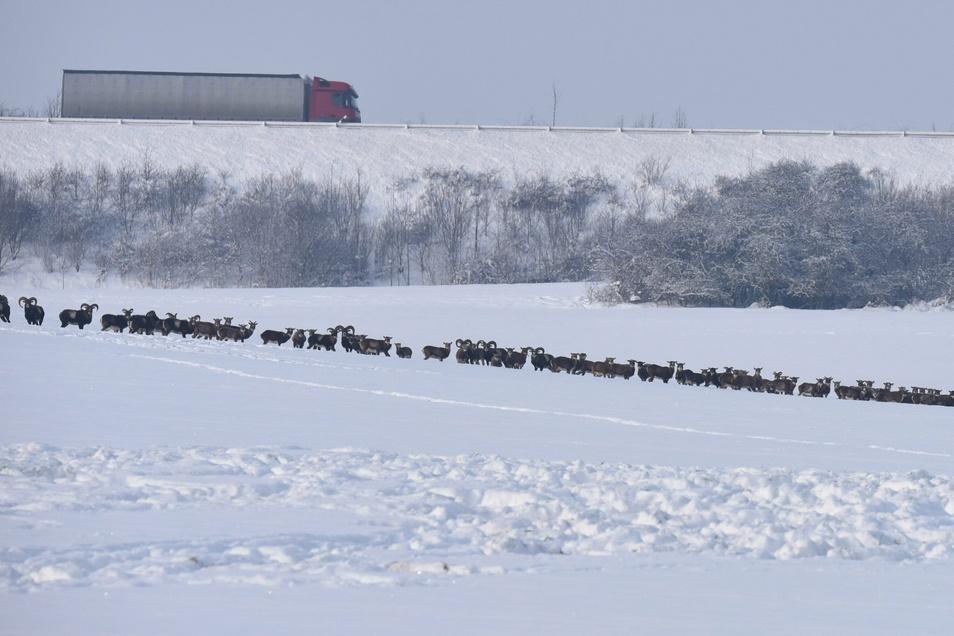 Obwohl sich Mufflons gern in Herden zusammentun, diese Herde vor ein paar Tagen auf einem freien Feld zwischen Börnersdorf und Wingendorf unterhalb der Autobahn A17 war in dieser Größe etwas Besonderes.