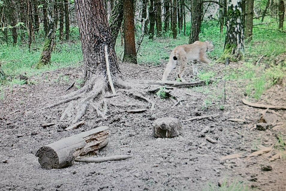 Erwischt! Ein Luchs spaziert bei einer von Jägern aufgestellten Wildkamera durchs Bild. Aufgenommen sein soll das Foto in einem Revier zwischen Bautzen und Niesky. Bei genauem Hinsehen ist am Hals des Tieres ein Senderhalsband zu erkennen.