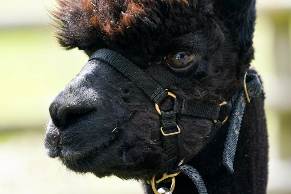 Alpaka Geronimo wurde zweimal positiv auf Rindertuberkulose getestet. Nun wurde das Tier eingeschläfert.