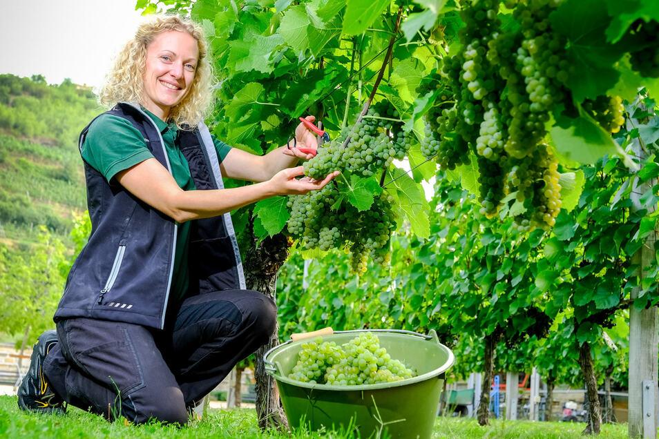 Kellermeisterin Christiane Spieler schneidet die ersten Trauben der frühreifen Rebsorte Solaris ab. Durch ihre fruchtigen Aromen eignet sich diese weiße Sorte,  besonders gut für Federweißer.