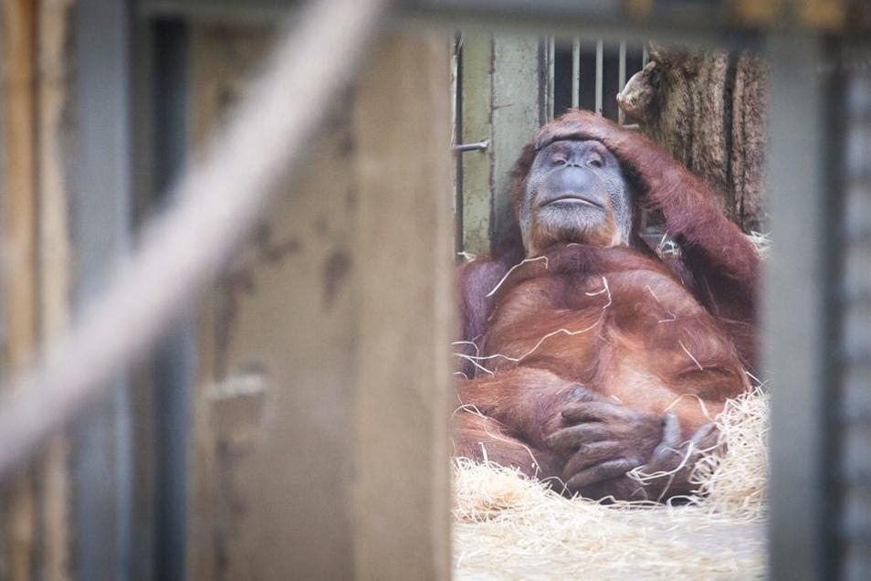 Sieben Orang-Utans leben derzeit im Dresdner Zoo. Erst ab 2019 kann ihnen voraussichtlich ein neues Haus gebaut werden.