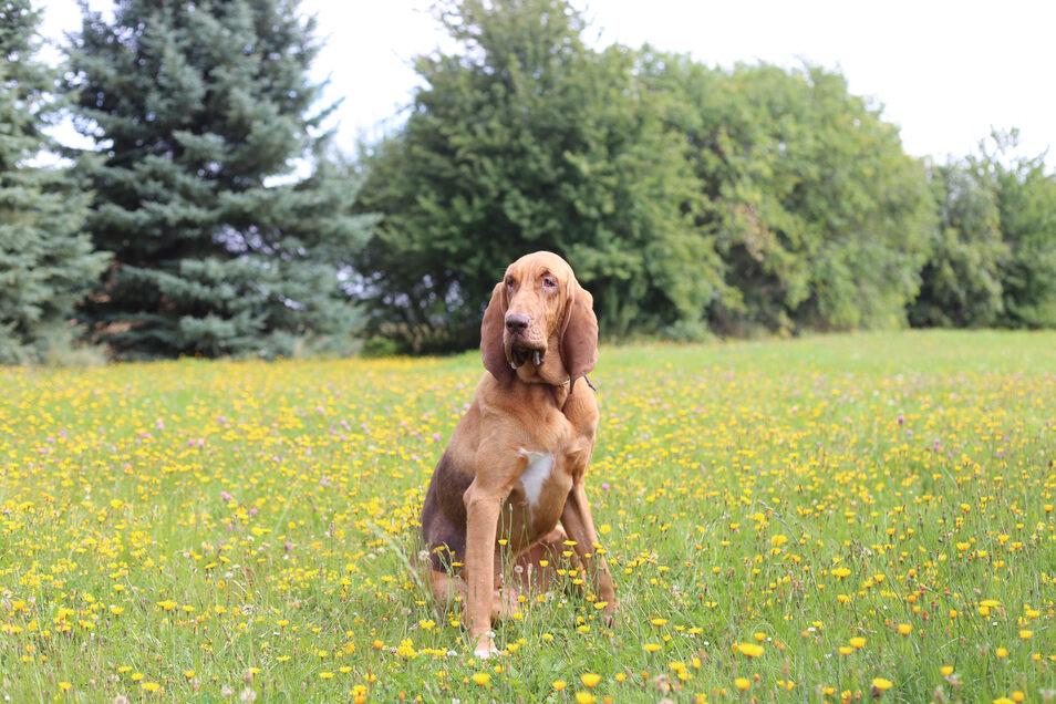 Bloodhound-Hündin Hermine kann die Witterung von einem Menschen auch noch Monate später aufnehmen.