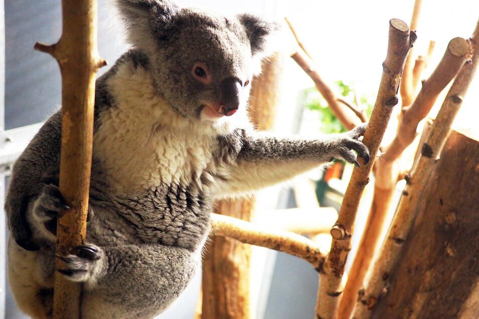 Koala-Weibchen Mandie erhält seit Anfang der Geschichte des Zoo Leipzigs den ersten Koala-Nachwuchs.