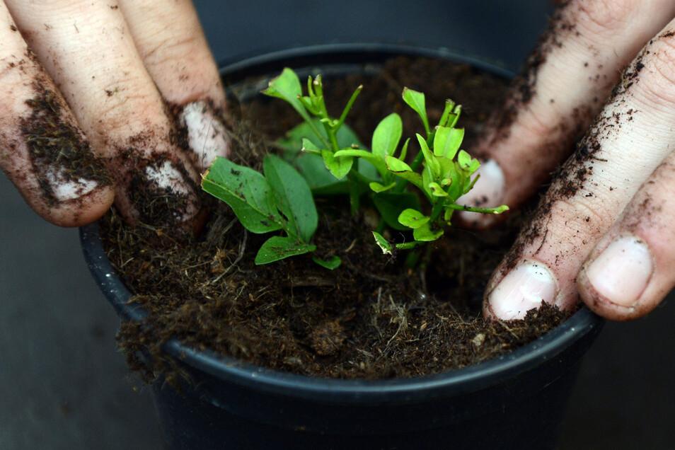 Frische Blumenerde kann streng riechen. Das ist aber kein Grund zur Sorge um die Pflanze.