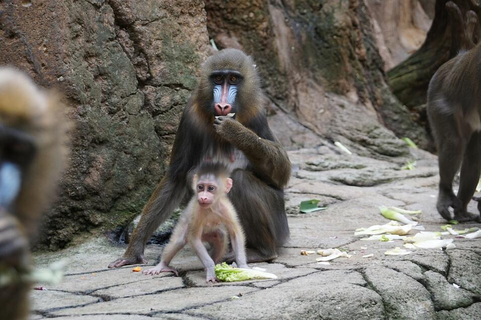 Mutter Uzuri umsorgt im Dresdner Zoo ihren jüngsten Nachwuchs Dajan.