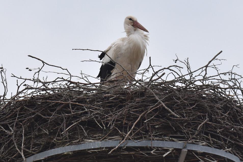 Ein Adebar ist auf das höchstgelegene Storchennest in der Region nach Reinholdshain zurückgekehrt.