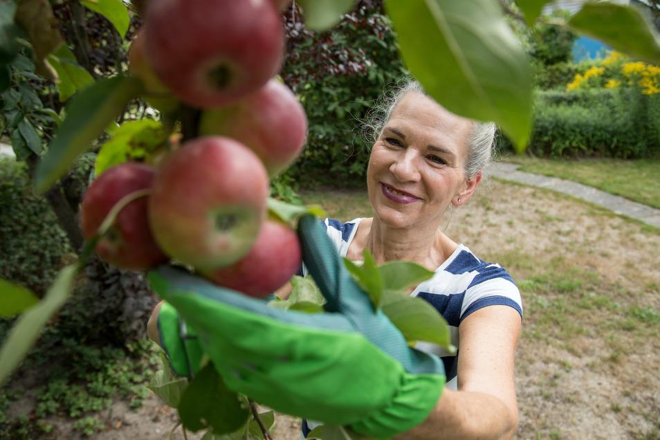 Die Apfelernte hat in Sachsen begonnen. Doch Klimaprobleme lassen nicht alle Bäume so reich tragen wie hier.