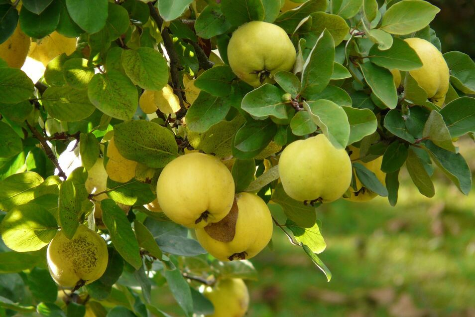 Die Quitte gilt seit Jahrhunderten als Heilfrucht und kann Halsentzündungen, Darmstörungen oder Hautverletzungen entgegen wirken. Außerdem hat sie mehr Vitamin C als ein Apfel.