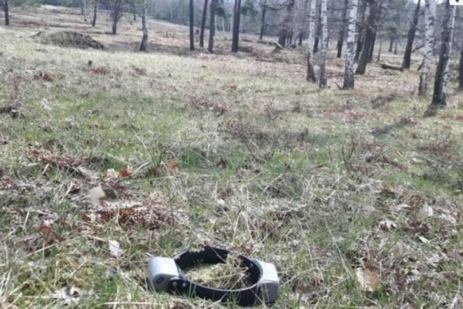 Cora hat ihr Senderhalsband schon nach kurzer Zeit verloren. Es konnte aber gefunden werden.