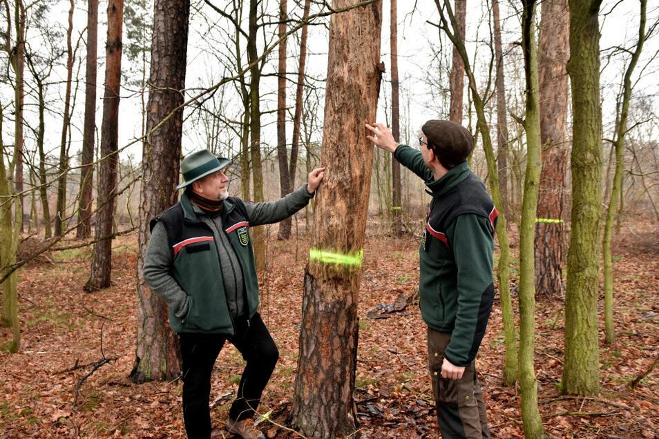Forstbezirksleiter Holm Karraß und Michael Sachon, Leiter des Forstrevieres Räckelwitz, in einem Privatwald bei Königswartha. Mit dieser gut 100-jährigen Kiefer ist der Borkenkäfer fertig. Sie wird jetzt gefällt.