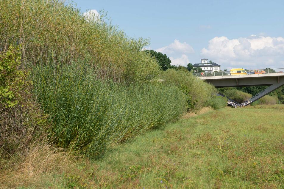 Gut gewachsen sind die Fledermausautobahnen. Die hohen Weidenreihen sollen die Tiere unter der Brücke hindurch leiten.